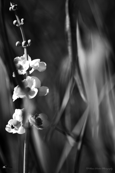 Black and White photo of bee's with flowers by William Martin of wim-designs