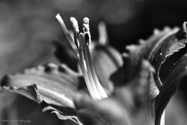 Black and White photo of a Lily in the garden by William Martin of wim-designs